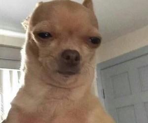 meme, dog, and reaction image