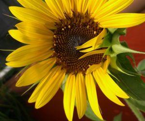 flower, girasol, and sunflower image