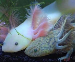 axolotl, cute, and fish image