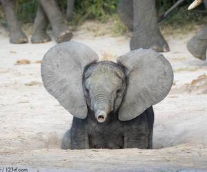 baby animals, cute animals, and elephant image