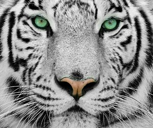 animals, green, and tiger image