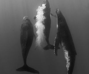 whales, black and white, and underwater image