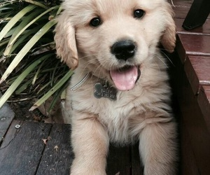 goldenretriver and cute image