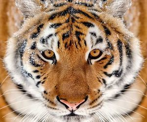 big cats and wild cats image