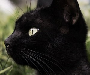 animals, black cats, and cats image