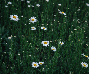 chamomile, flowers, and nature image