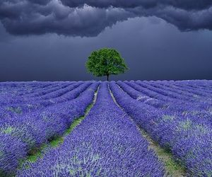 lavender and tree image
