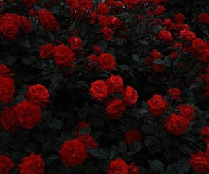 pretty, roses, and red image