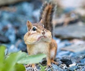 amazing, chipmunks, and kitty image