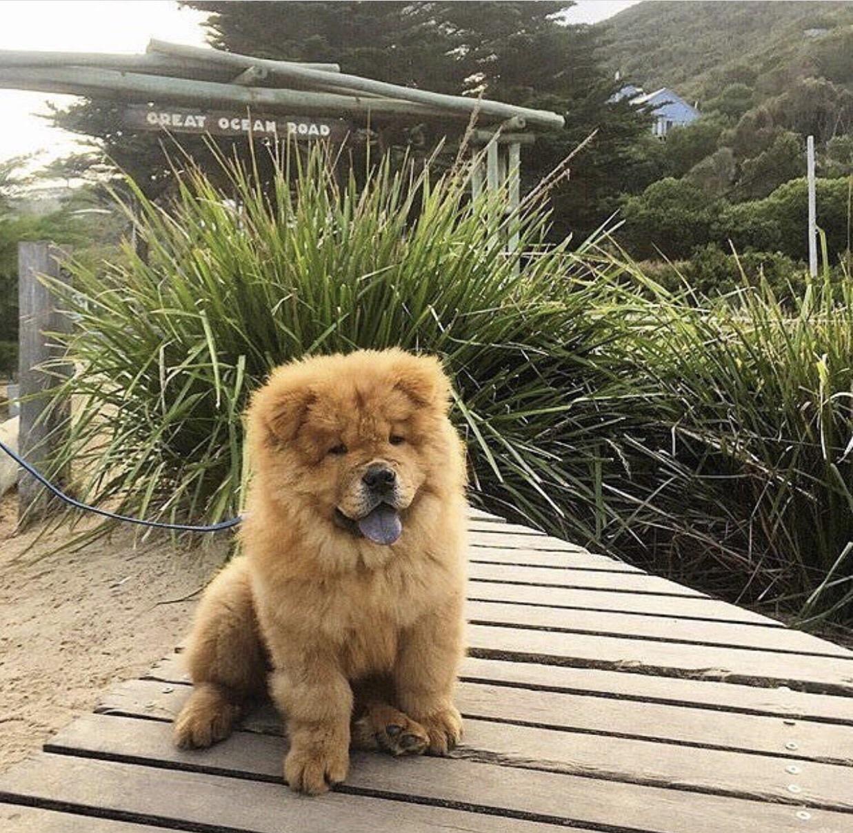 animal, Chow, and dog image