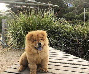 animal, chowchow, and Chow image