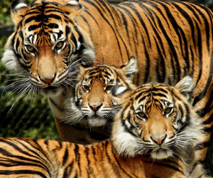 cub, tiger cubs, and point defiance zoo image