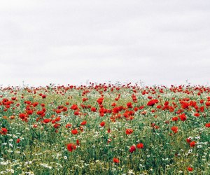 field, flowers, and poppy image