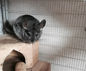 animal, chin, and Chinchilla image