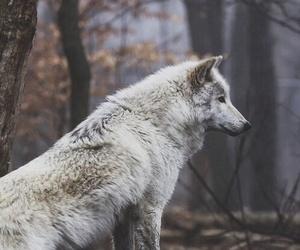 beautiful, wolf, and wild image