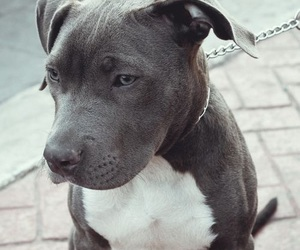 dog, animal, and pitbull image