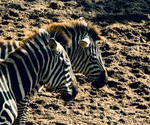 africa, animal, and serengeti image