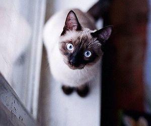 animals, cat, and blue eyes image