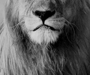 animal, black and white, and lion image