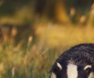badger, hufflepuff, and animal image