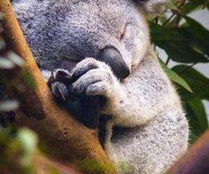 Koala, animal, and sleep image