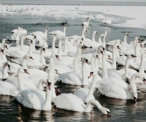theme, Swan, and white image