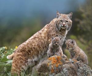 amazing, cat, and wild image