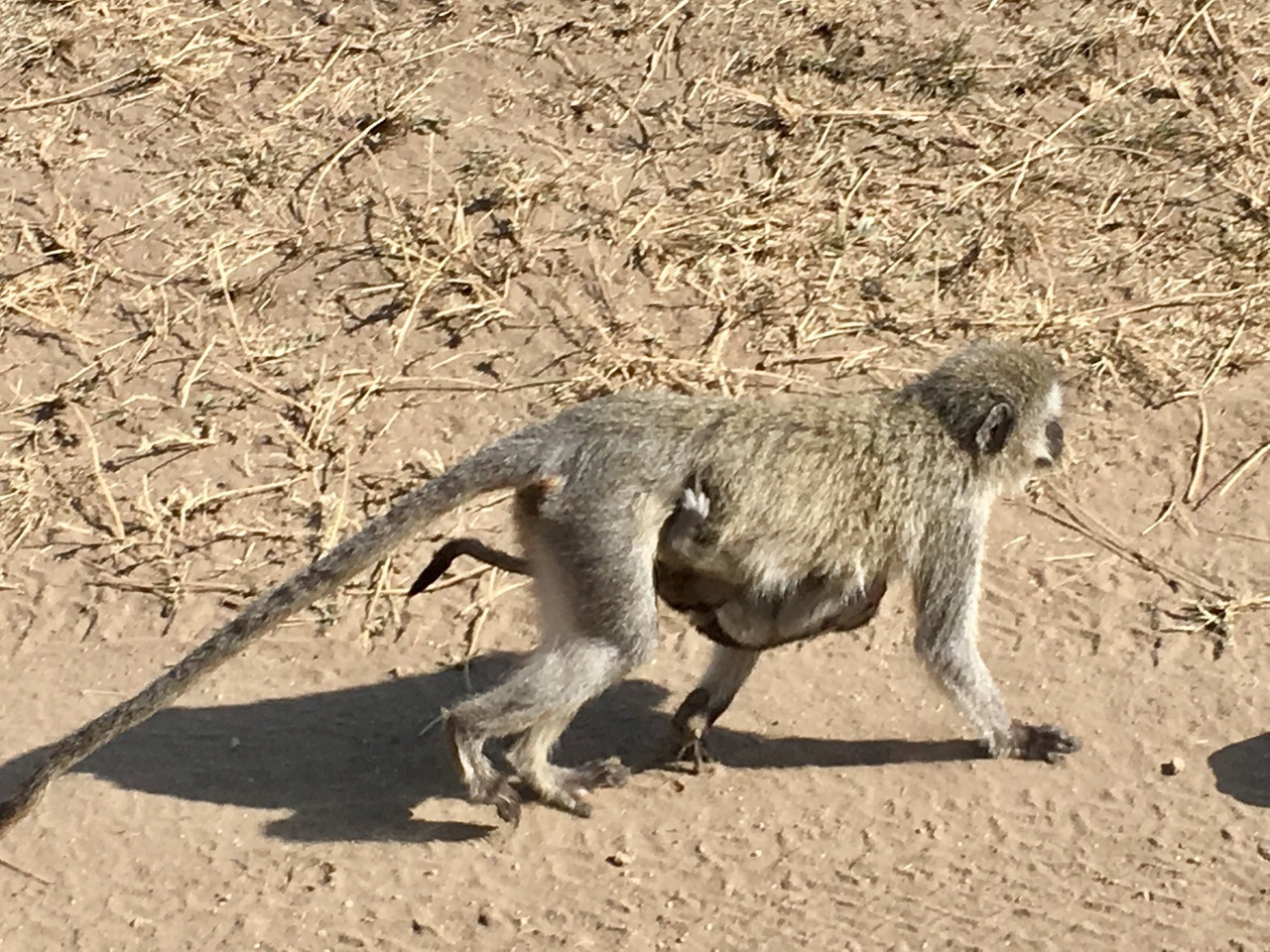 africa, monkey, and safari image
