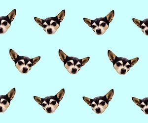 background, blue, and chihuahua image