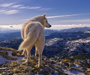 wolf, animal, and mountains image