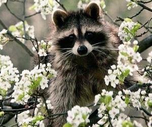 animal, flowers, and raccoon image