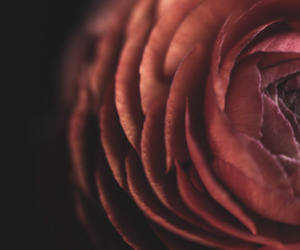 flower photography, maroon, and flowers image