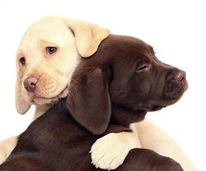 adorable, dogs, and labrador image