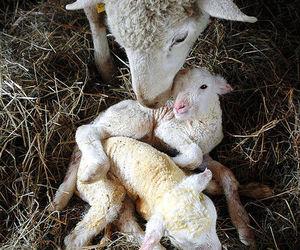 animals, lamb, and sheep image