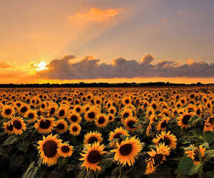 sunflower, flowers, and sunset image