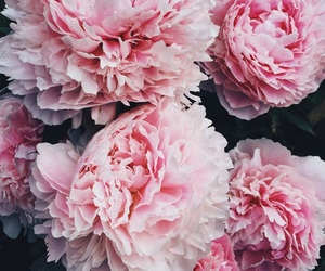 flower, peony, and pink image