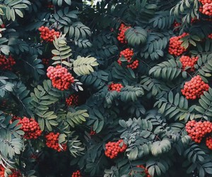 nature, berry, and red image