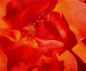 flower photography, flowers, and orange image