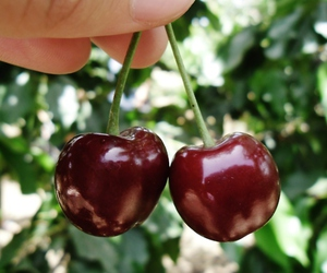 cherries, cherry, and fruit image