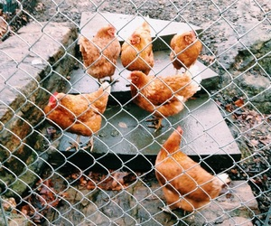 chickens, cute, and gate image