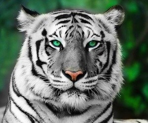 tiger, animal, and green image