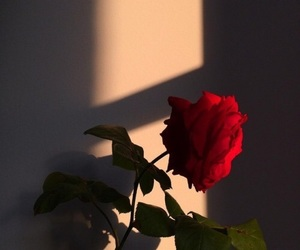 photography, red, and red rose image