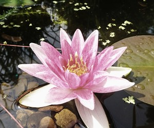 flower, lotus, and summer image