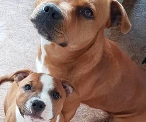 pitbull, puppy, and pitbull lover image