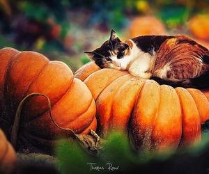 cat, animals, and autumn image