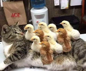 cat, animal, and Chick image