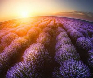 beauty and lavender fields image