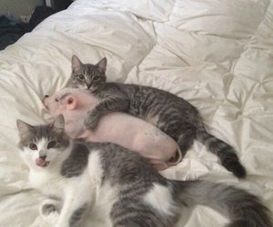 cat, pig, and cute image