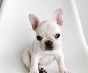 adorable, french bulldog, and love image