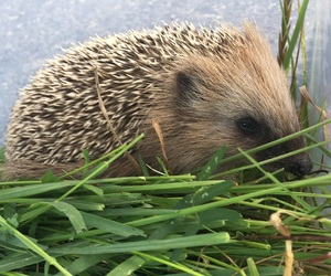 adorable, finnish, and hedgehog image